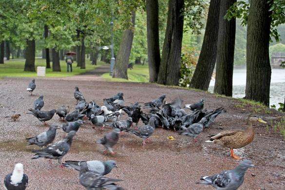 Утка и голуби в Лопухинском саду