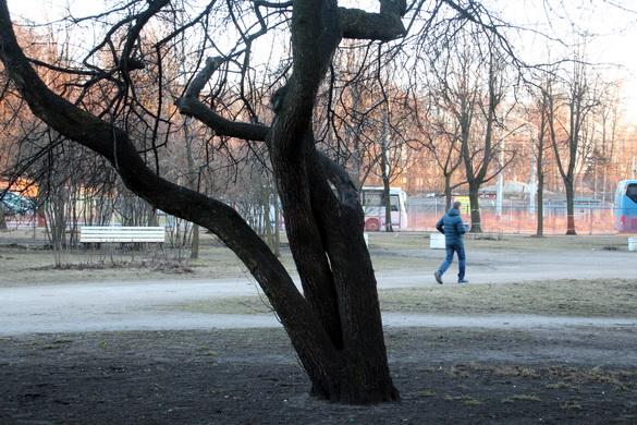Дерево в сквере на Автовской