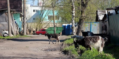 Ломоносов, улица Евгения Ефета, козы