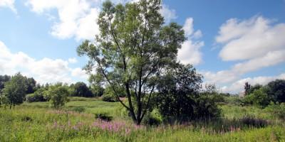 Муринский парк, дерево