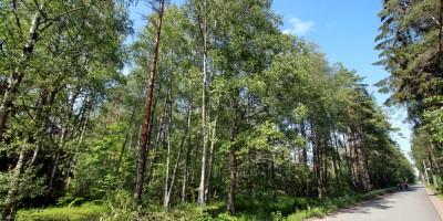Солнечное, лес вдоль улицы Танкистов